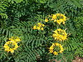 Starr 061111-1539 Caesalpinia pulcherrima.jpg