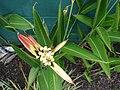 Starr 070730-7754 Heliconia psittacorum.jpg