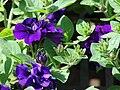 Starr 070906-8405 Petunia x hybrida.jpg