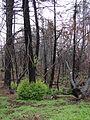 Starr 070908-9130 Sequoia sempervirens.jpg