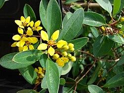 definition of malpighiaceae