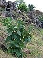 Starr 080314-3510 Nicotiana tabacum.jpg