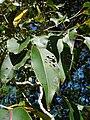 Starr 090213-2484 Syzygium cumini.jpg