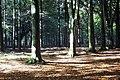Stately Trees - geograph.org.uk - 301710.jpg