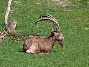 Sibirischer Steinbock (Capra sibirica)