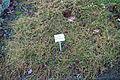 Stellaria graminea - Botanischer Garten, Dresden, Germany - DSC08720.JPG