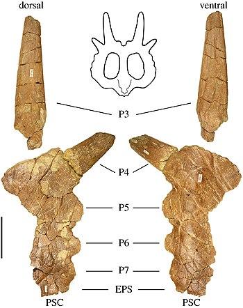 Stellasaurus parietal.jpg