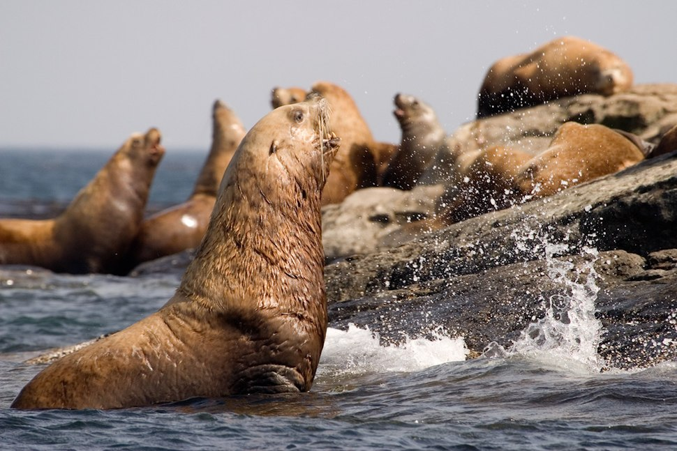 Stellers Sea Lions BC