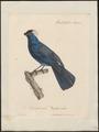 Stephanophorus leucocephalus - 1825-1834 - Print - Iconographia Zoologica - Special Collections University of Amsterdam - UBA01 IZ15900257.tif