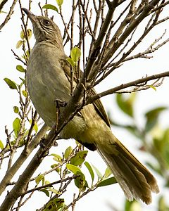 Streak-eared Bulbul Pycnonotus conradi in Thailand in 2013 by Devon Pike.jpg
