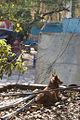 Street Dog, Agra.jpg
