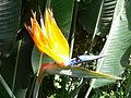 Strelitzia reginae3.jpg