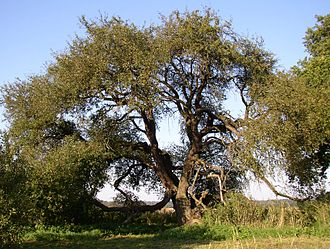 Dettmannsdorf - Germany's oldest wild apple tree