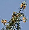 Subabool (Leucaena leucocephala) flowers, green pods & leaves in Kolkata W IMG 4299