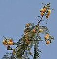 Subabool (Leucaena leucocephala) flowers, green pods & leaves in Kolkata W IMG 4299.jpg