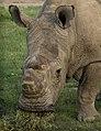 Sudan (Ceratotherium simum cottoni) 2015-05-22.jpg
