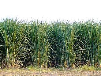 Eldana - Rows of sugarcane, the most common host plant for E. saccharina