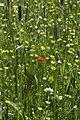 Summer Pheasant's-Eye - Adonis aestivalis (27422866591).jpg