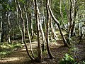 Sunlight on silver birches - geograph.org.uk - 246932.jpg
