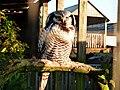 Surnia ulula -Blackbrook Zoo, Staffordshire, England-8a (1).jpg