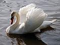 Swan (3523517404).jpg