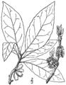 Symplocos tinctoria BB-1913.png