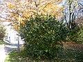 Syringa vulgaris (1).jpg