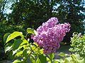 Syringa vulgaris Hugo de Vries 2016-05-20 0928.jpg