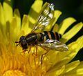 Syrphus ribesi (Humming Syrphus) - female - Flickr - S. Rae (3).jpg