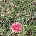 Table rose 1.jpg
