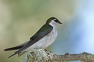 Violet-green swallow - Male in California, U.S.