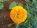 Tagetes erecta Marigold flower at Madhurawada 02.JPG
