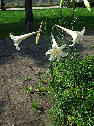 Lilium longiflorum - Image: Takasagoyuri 06z 1458csv