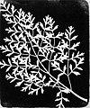 Talbot, William Henry Fox - Studie von Pflanzen (2) (Zeno Fotografie).jpg
