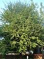 Tamarindus indica tree Bhopal.JPG