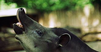 Tapir - Tapir showing the flehmen response