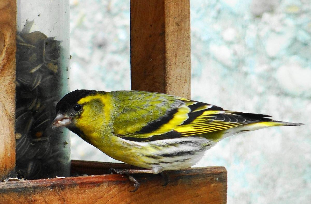 Tarin des aulnes wikip dia for Oiseau jaune france