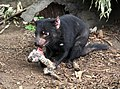 Tasmanian Devil Eating.jpg