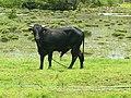Taureau dans l'eau, St-François, Guadeloupe.jpg