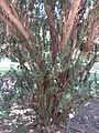 Taxus baccata 'hibernica' 01 by Line1.jpg