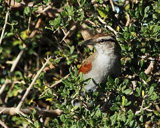 Southern tchagra Species of bird