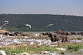 Terns and buffaloes - Queen Elizabeth National Park, Uganda (3).jpg