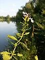 Teucrium chamaedrys (subsp. chamaedrys) sl12.jpg