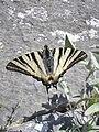Thassos 8- Koningspage Iphiclides podalirius (3).JPG