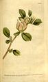 The Botanical Magazine, Plate 108 (Volume 3, 1790).png