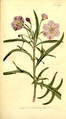The Botanical Magazine, Plate 349 (Volume 10, 1796).png