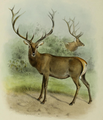 The deer of all lands (1898) Altai wapiti.png
