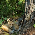 The fox beside the cottage 01.jpg