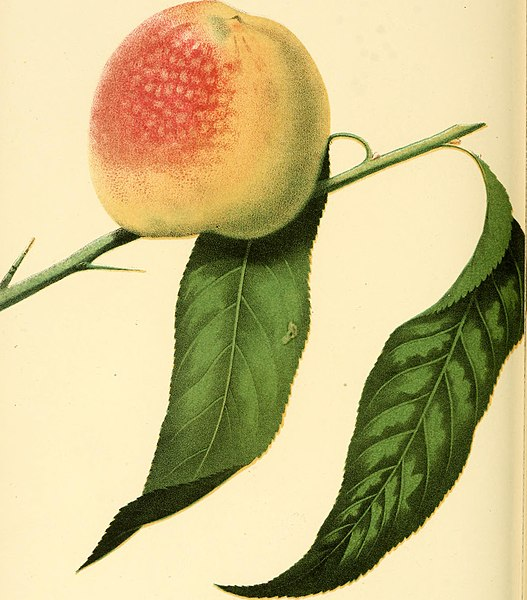 File:The fruits of America - containing richly colored figures, and full description of all the choicest varieties cultivated in the United States (1848) (14782619092).jpg
