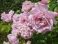 The queen of sweden roses.jpg